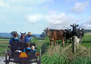 Amish and cows
